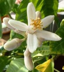 Etrogflower